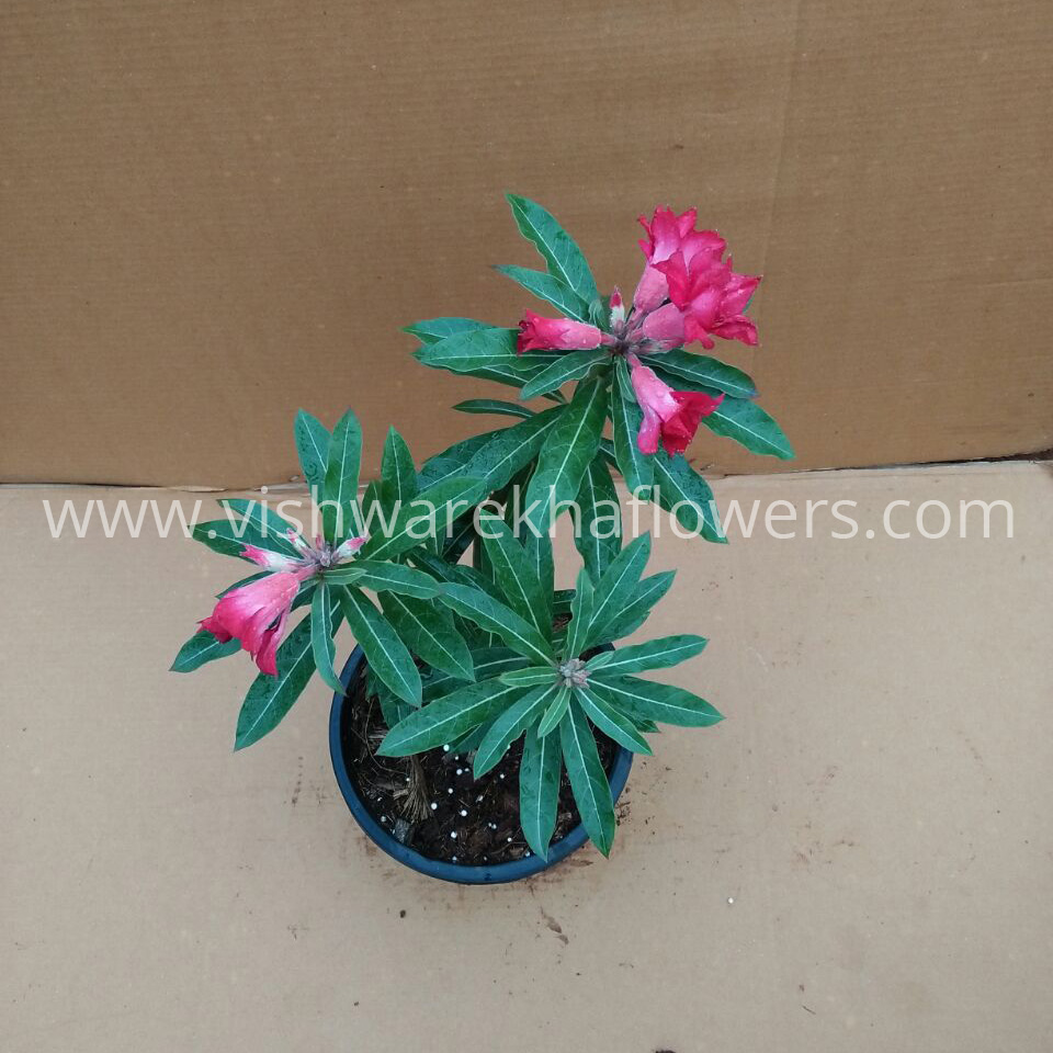 Vishwarekha Flowers